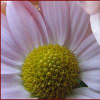 カニ葉サボテンが咲き始めた