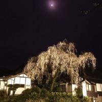 福泉坊の夜桜見物おおはしゃぎ。
