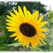 夏の季語(^^♪太陽の動きにつれてその方向を追うように花が回るヒマワリ(向日葵)」