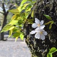 桜散り初夏が近づく鹿児島市 2017/04/19 (鹿児島)