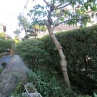 庭木の剪定が終わりました(平成28年10月)