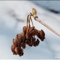 冬芽と葉痕 - 6