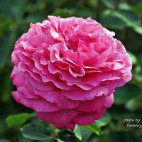 イブ ピアッチェ     芍薬咲きの華麗なバラ