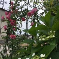 薔薇から紫陽花へ