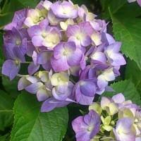 紫陽花サイン