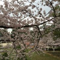 やっぱり桜はいいですね