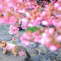 河津桜が咲いてます