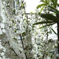 ウミネコ桜