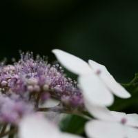 梅雨が似合う花