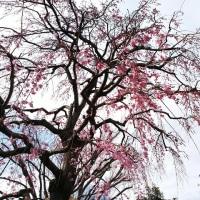 桜咲けど・・