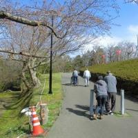 赤坂山公園でお花見の下見!?