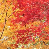 """古代の森 """"小國神社"""" の紅葉"""