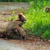 金沢市南部丘陵の野猿 憩いと威嚇