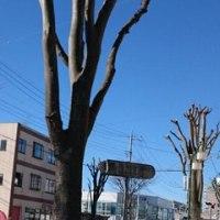 街路樹の手入れの季節??