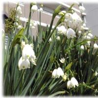 """春を告げる花(^^♪花言葉は、""""初恋のため息""""""""楽しい予告"""" 花姿や花色が雪のしずくに似ている「スノードロップ」"""
