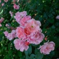 6月2日の真昼のバラ、25枚