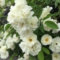 お庭の白い薔薇♪