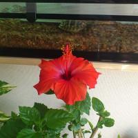 またハイビスカスが花を咲かせました