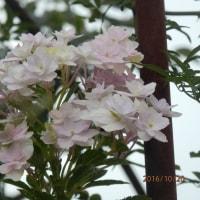 いまごろアジサイの花