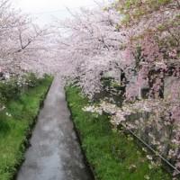 真間川の桜 2017.04.08