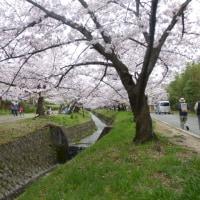 『星田妙見桜に酔い、家康公を思う』