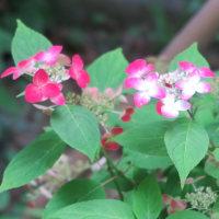 長谷寺の近くの収玄寺のお庭はあじさいが満開です。