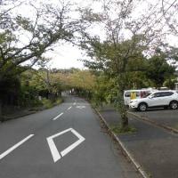 城ケ崎の桜並木風景です