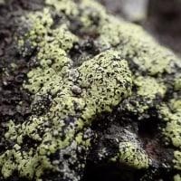 富士山5合目の自然:地衣類のチズゴケ