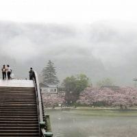 小雨の中の花見