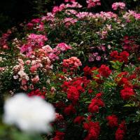 薔薇 (花 4465)
