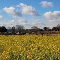 備中国分寺の菜の花 (1月15日)