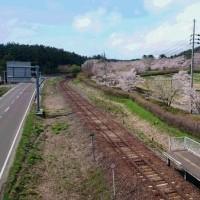 御所の台ふれあいパーク桜開花状況(H29.4.28)