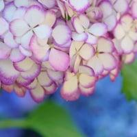 紫陽花(あじさい) hydrangea