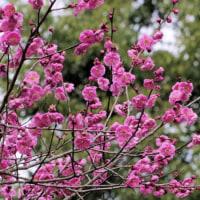 田舎の風景 ウスタビガのマユ・梅の花・モズなど
