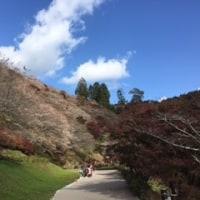 小原四季桜&香嵐渓