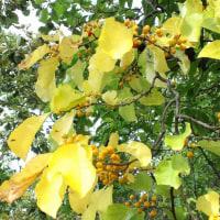 ★ツルウメモドキ実が黄色になり熟してきました。