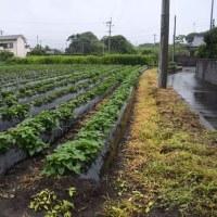 梅雨空続く 野菜畑は雨疲れ 2017/06/26 (鹿児島)