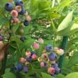 ブルーベリーの初収穫
