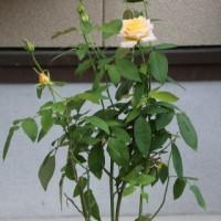 ☆きょうの庭バラ 10/16 河本ばらウリエルetc