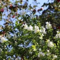 【京都園芸倶楽部Facebook】先週の植物(2017年4月16日~22日)