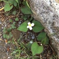 オサンポ walk - ドクダミの白い花 doku-dami/Houttuynia cordata