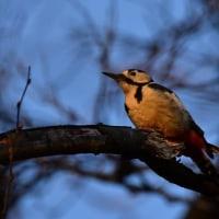 夕焼けの野鳥