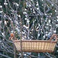 梅が咲き始めましたの巻