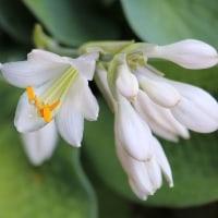 「擬宝珠」です、草陰で静かに咲いています。