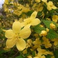 季節の花「山吹」