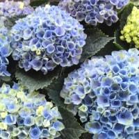 紫陽花の管理方法