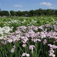 白鷺公園の菖蒲