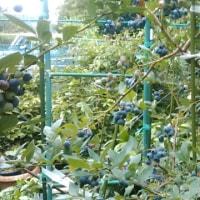 ブルーベリーとヤマブドウ