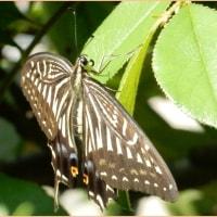 翅を広げるアゲハ