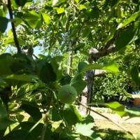 りんごの摘果。